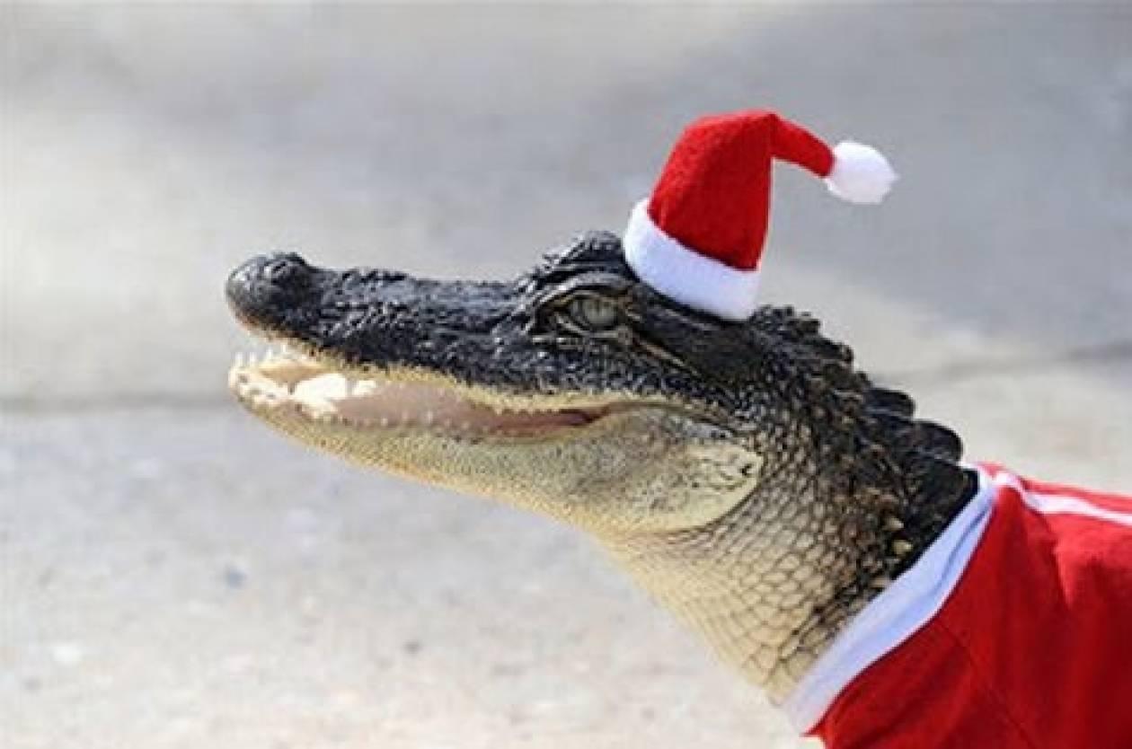 Σε χριστουγεννιάτικο πνεύμα αλιγάτορες στη Λουιζιάνα (pics)