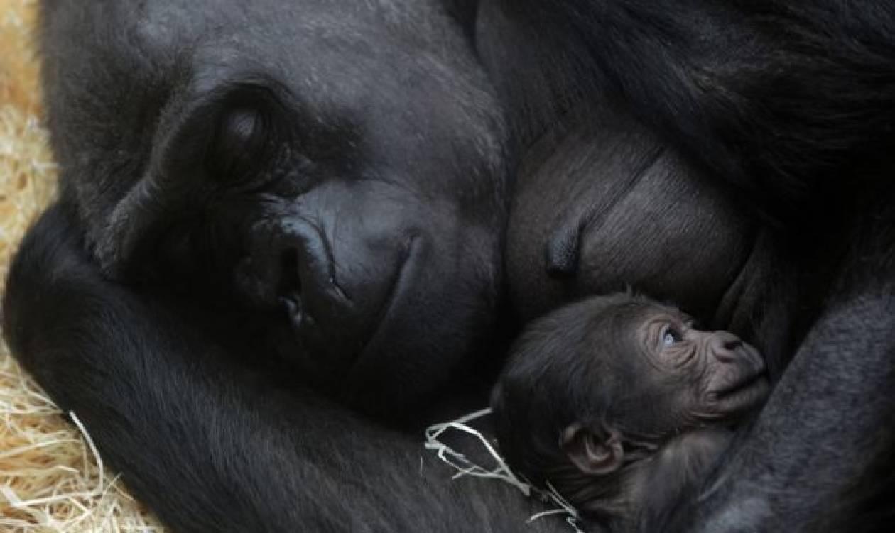 Μία τρυφερή αγκαλιά για το νεογέννητο γοριλάκι