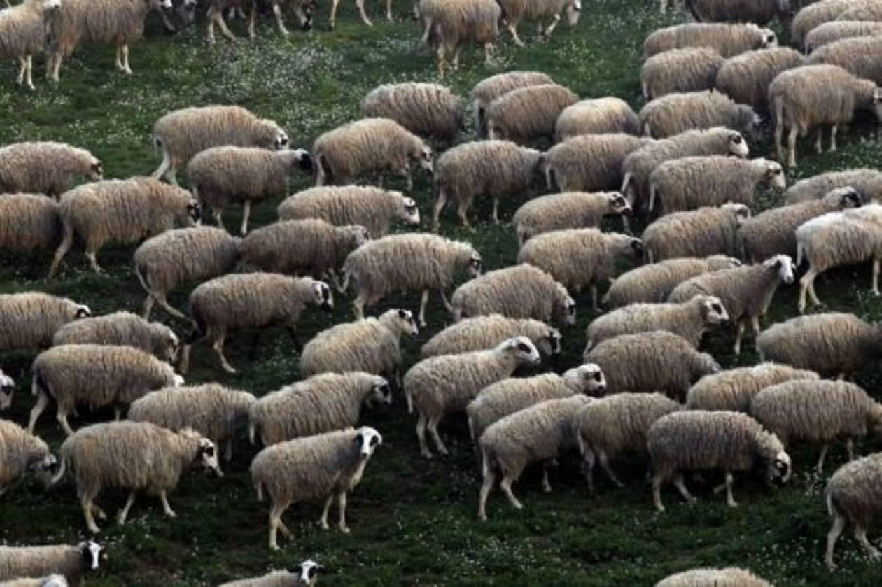 Τρίκαλα: Κάηκαν ζωντανά δεκάδες πρόβατα και αρνιά