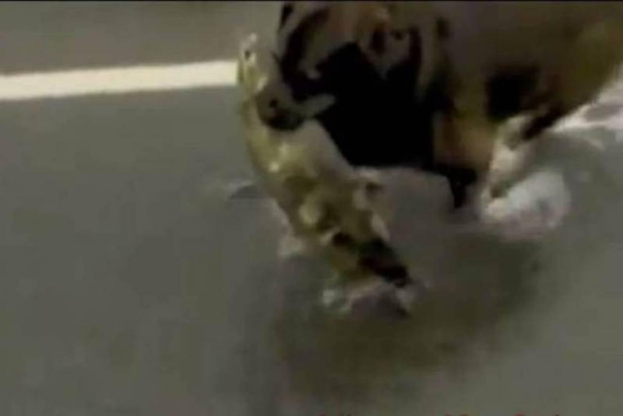 Δείτε το σκύλο που ψαρεύει σολωμούς στο ποτάμι (video)