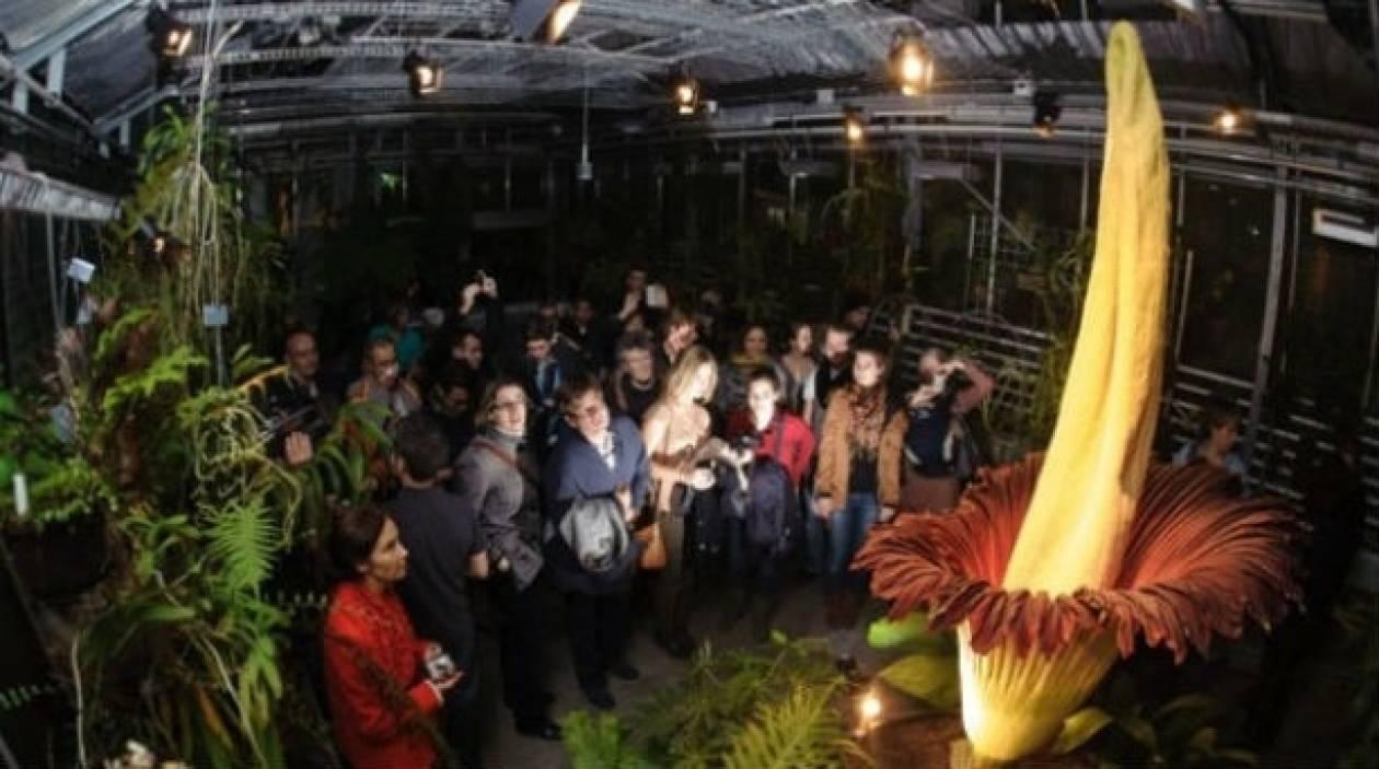 Βίντεο: Χιλιάδες άνθρωποι σπεύδουν να θαυμάσουν το λουλούδι-πτώμα!