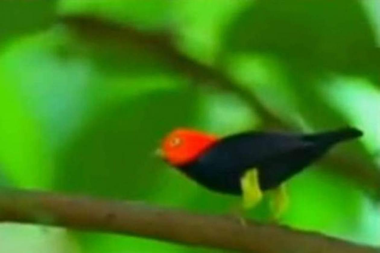 Δείτε το πουλί που χορεύει σαν τον Μάικλ Τζάκσον (video)