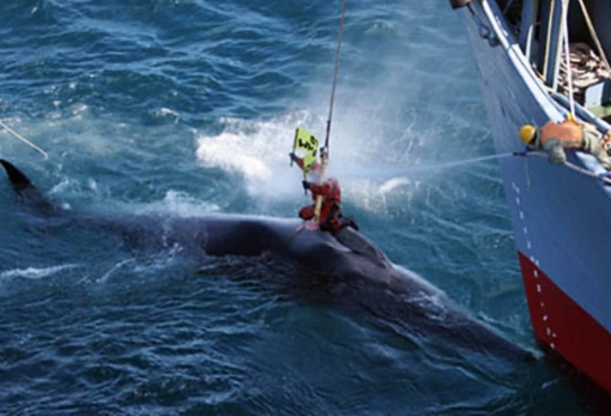 Ιαπωνικά φαλαινοθηρικά βγήκαν για κυνήγι