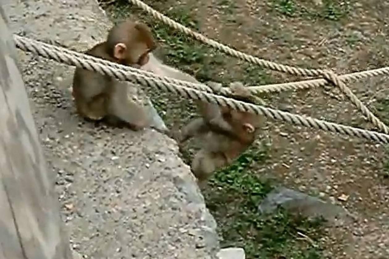 Βίντεο: Δυο μικροί μακάκοι αγκαλιάζονται μετά από επικίνδυνο παιχνίδι