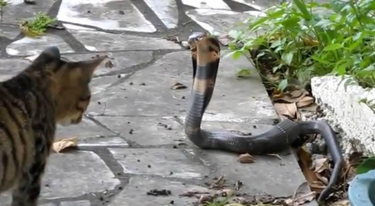 Γάτα εναντίον κόμπρας: Ποιος θα επικρατήσει;