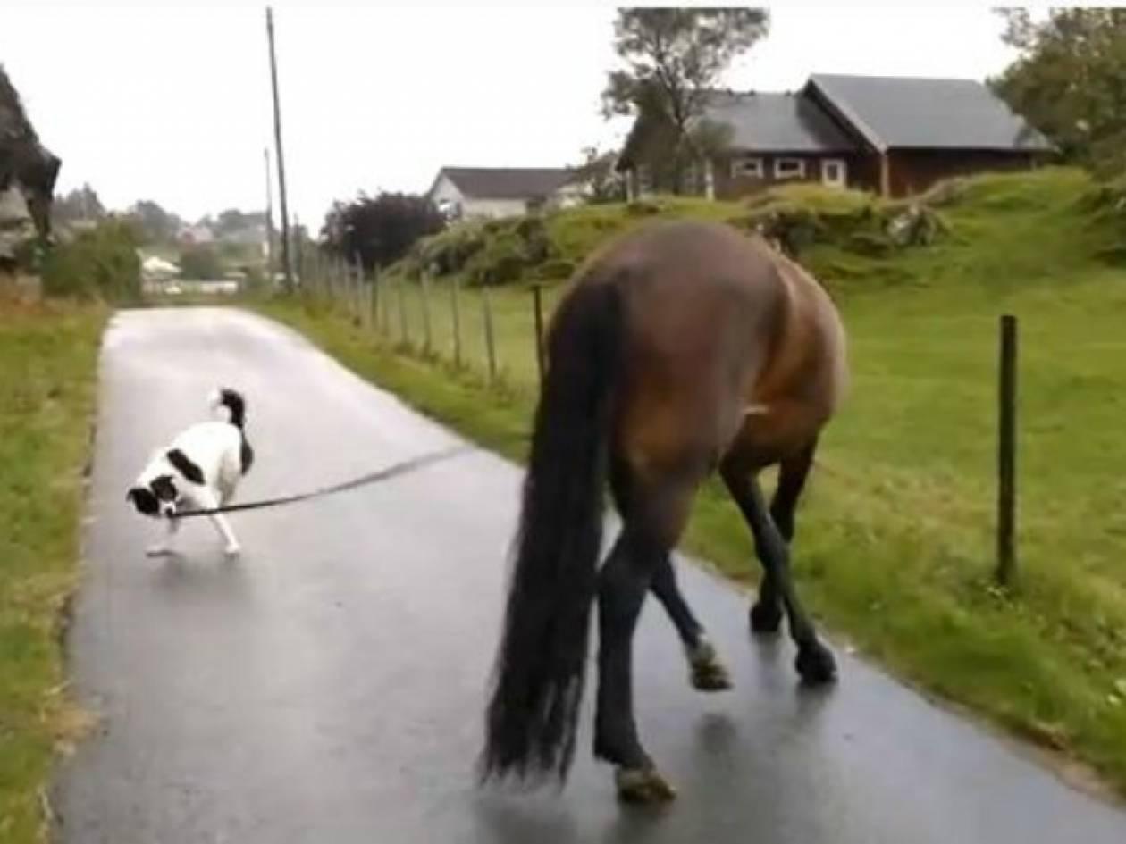 Απίθανο βίντεο: Σκύλος... σέρνει άλογο!