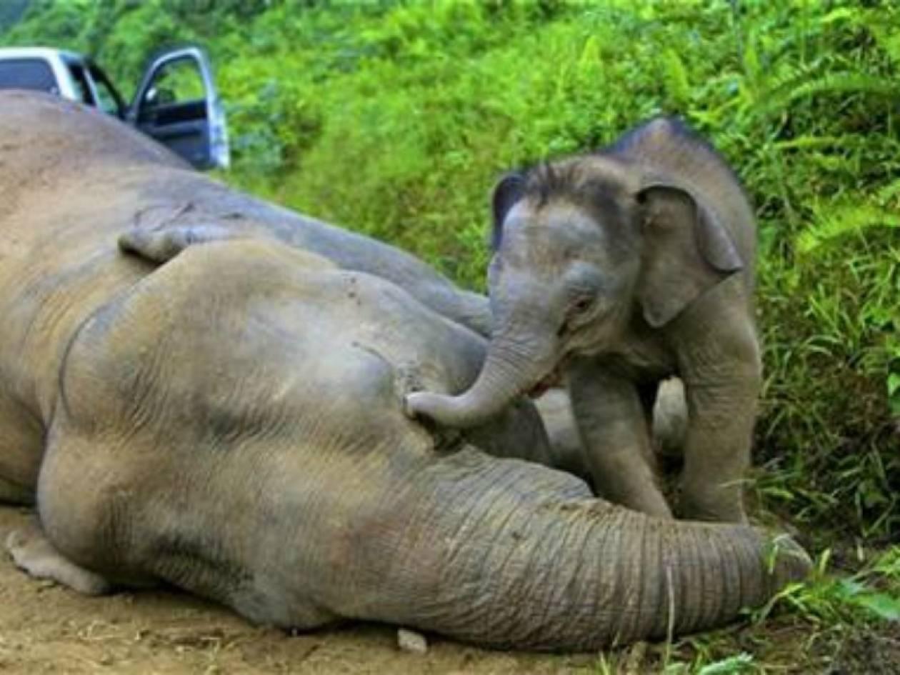 Συγκλονιστικό: Ελεφαντάκι προσπαθεί να ξυπνήσει τη νεκρή μαμά του