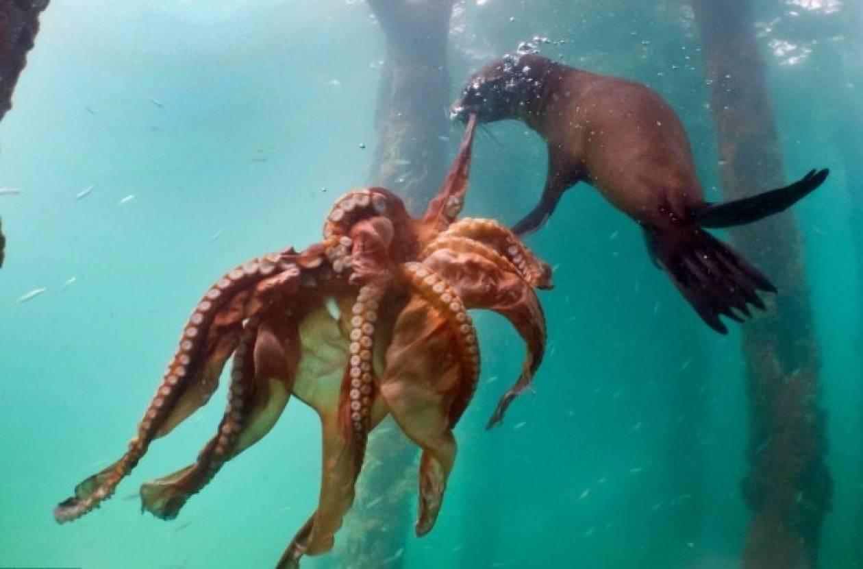 Εντυπωσιακή μάχη στη θάλασσα: Φώκια αρπάζει ένα χταπόδι (pics)