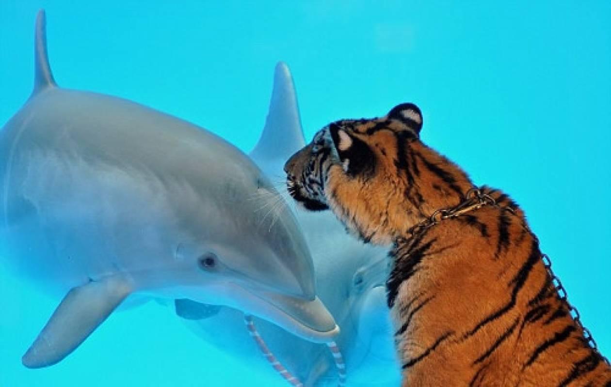 Tίγρης «φιλάει στο στόμα» δελφίνι (pics)