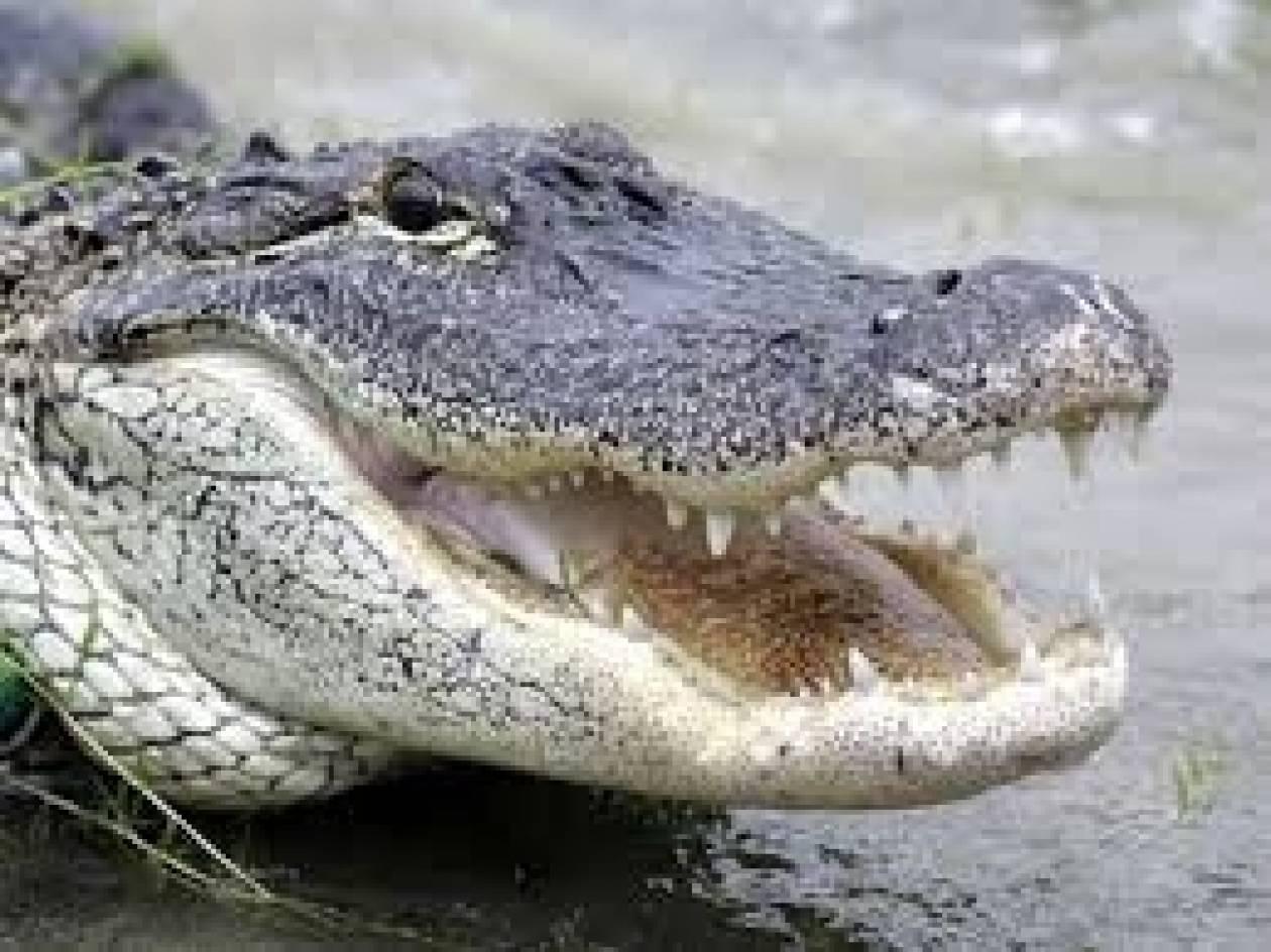 Ευθανασία σε αλιγάτορα που κατασπάραξε χάσκι