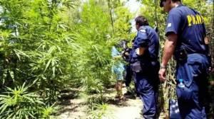 Σε δάσος χασισόδεντρων βρέθηκαν αστυνομικοί στη Σητεία
