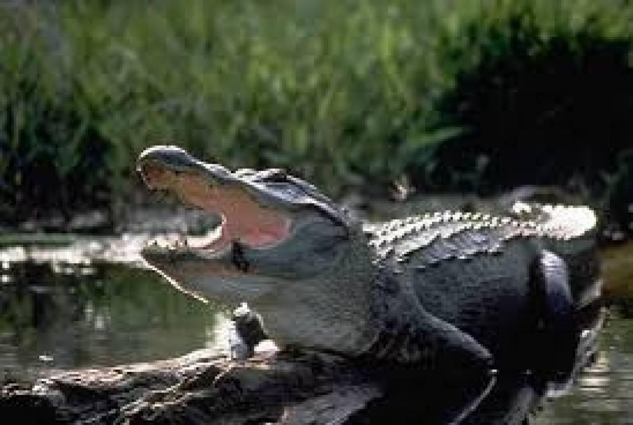 Ταΐζει αλιγάτορα με... λουκάνικο στο στόμα! (vid)