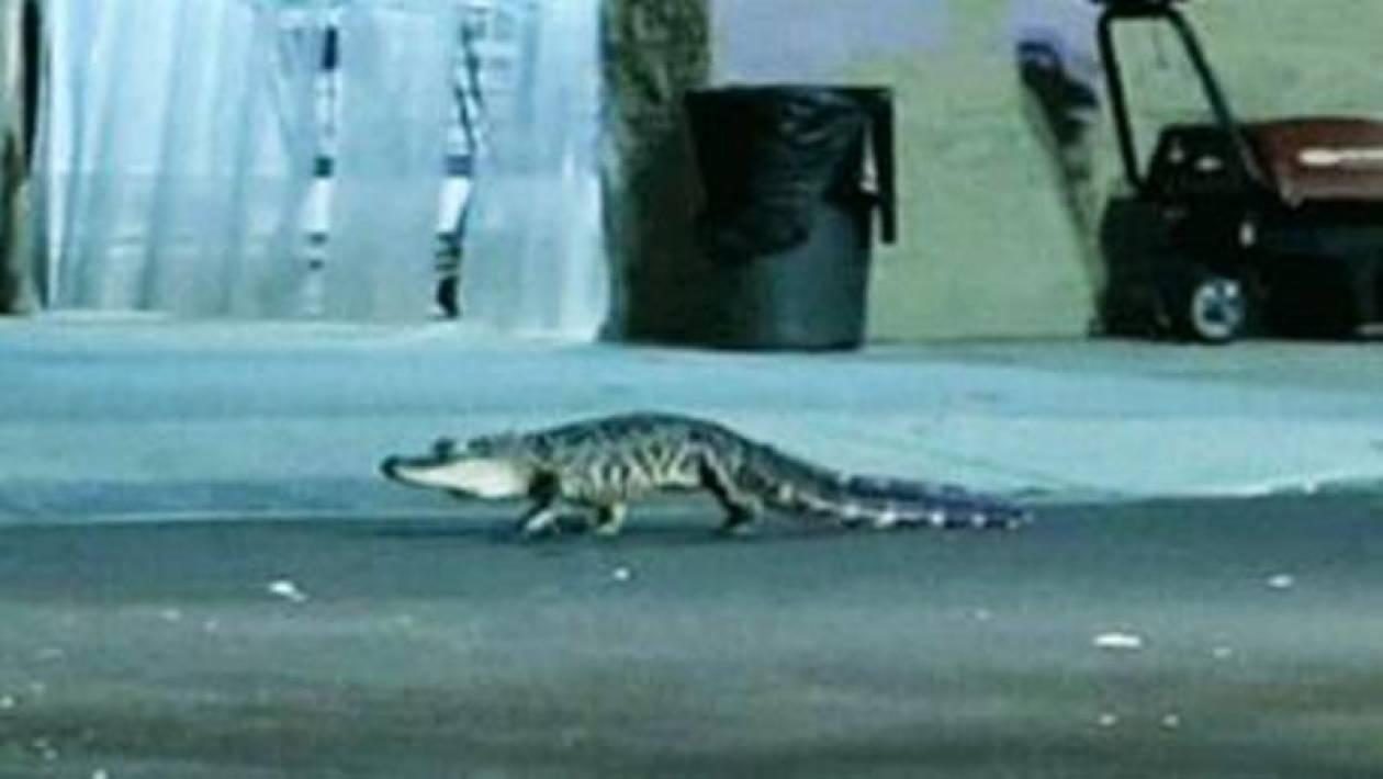 Αλιγάτορας εμφανίστηκε σε σούπερ μάρκετ στην Φλόριντα (vid)