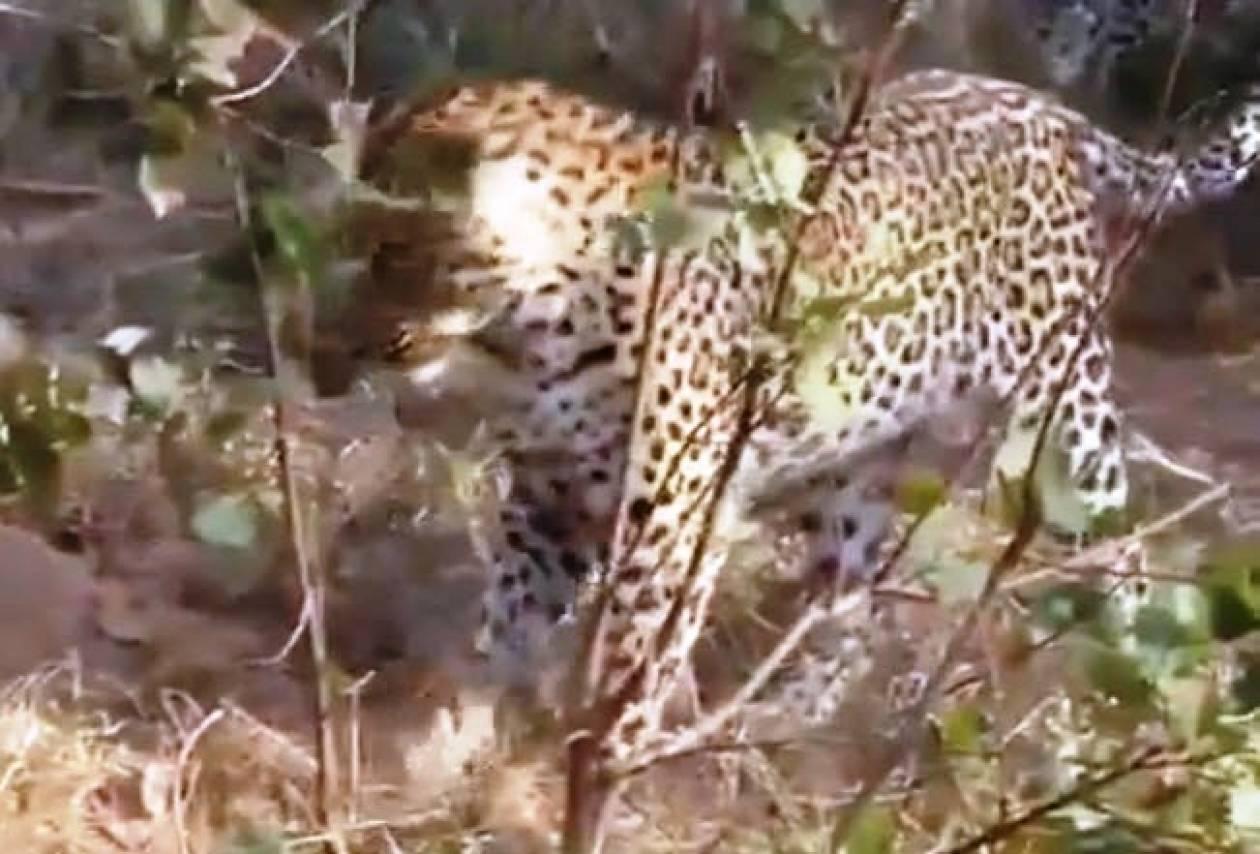 Όταν η λεοπάρδαλη συναντάει έναν γιγάντιο πύθωνα...! (vid)
