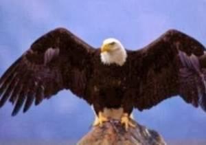 Αετός κυνηγάει αγριοκάτσικα (vid)