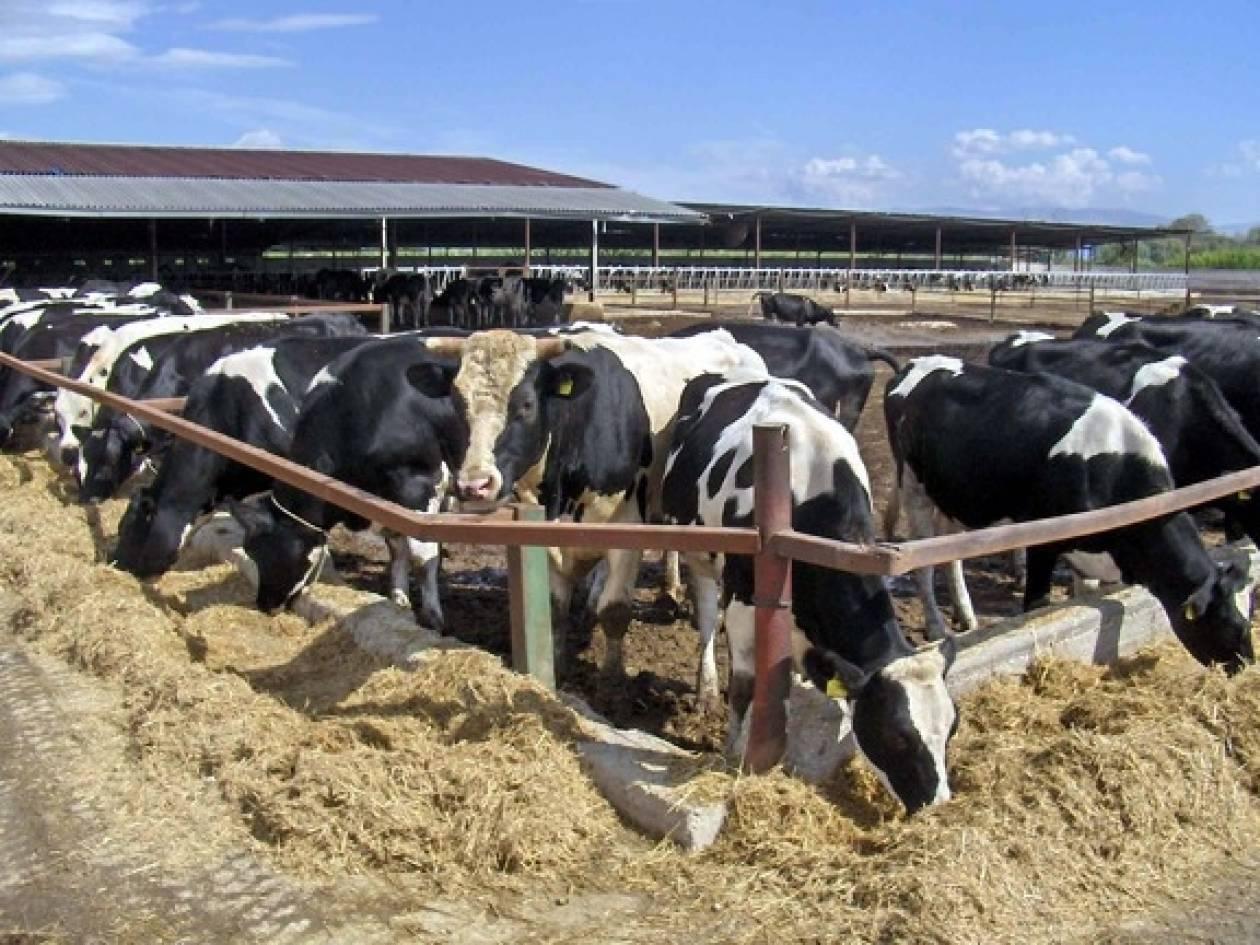 Θεσσαλονίκη: Οι αγελαδοτρόφοι καλούν σε διάλογο τον υπουργό Ανάπτυξης