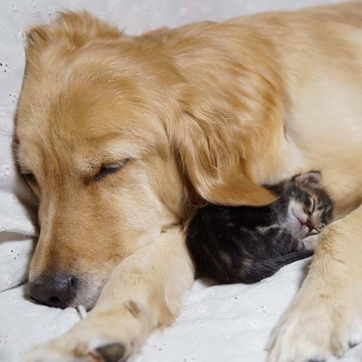 Συγκινητικός δεσμός: Golden retriever υιοθέτησε ορφανό γατάκι (pics)