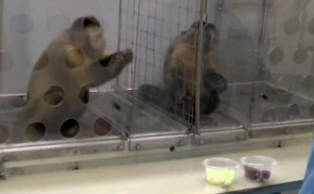 Πώς αντιδρά μία μαϊμού σε πείραμα επειδή νιώθει αδικημένη!