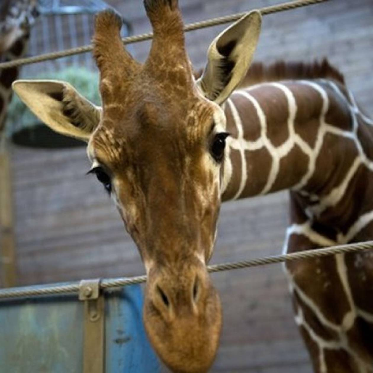Τεμάχισαν καμηλοπάρδαλη μπροστά σε παιδιά σε ζωολογικό κήπο
