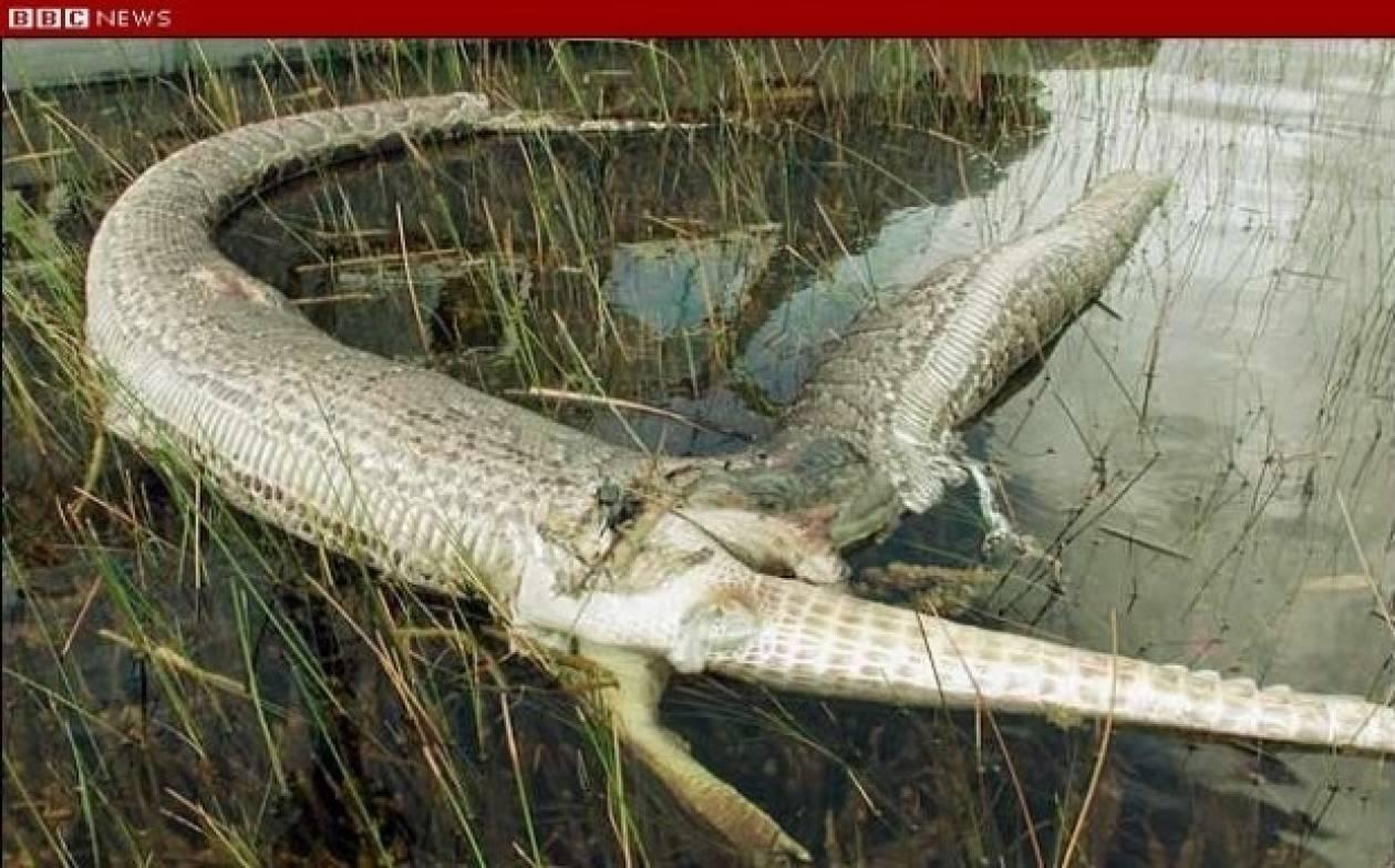 Πύθωνας έφαγε έναν ολόκληρο αλιγάτορα και... διαβάστε τι έπαθε!