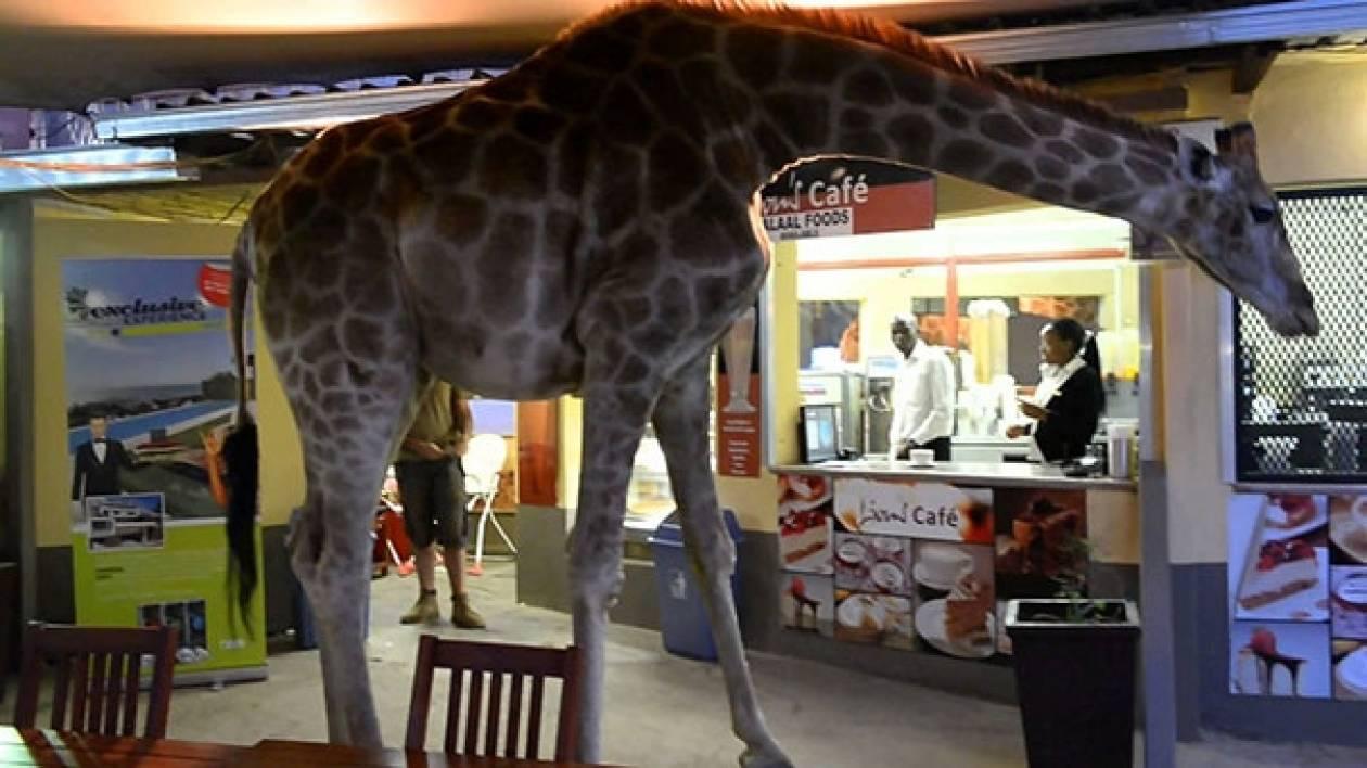 Καμηλοπάρδαλη... κάνει βόλτα μέσα σε εστιατόριο