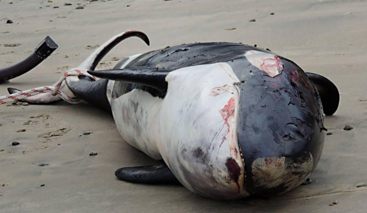Εννέα φάλαινες βρέθηκαν νεκρές στις ακτές της Ν. Ζηλανδίας