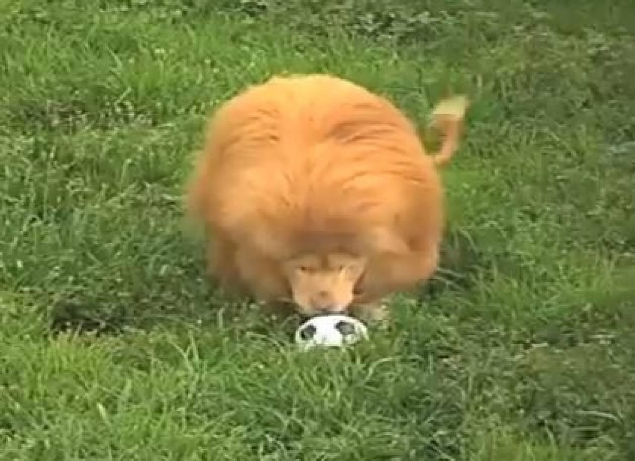 Λιοντάρι κολλημένο... με την μπάλα (vid)