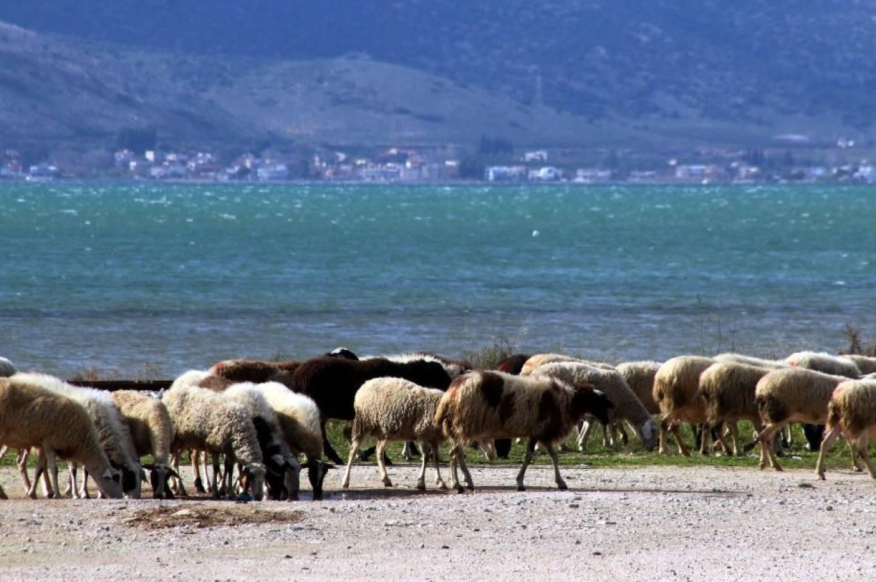 Έκλεψαν πρόβατα και  κατσίκια