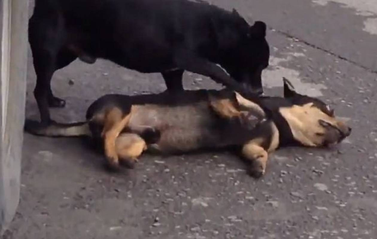 Συγκλονιστικό βίντεο: Σκύλος προσπαθεί να ξυπνήσει τον νεκρό φίλο του