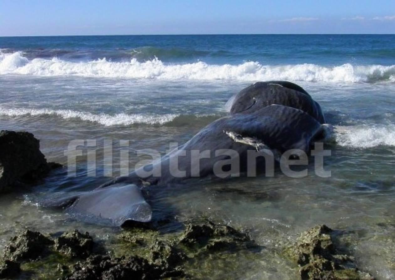Νεκρή φάλαινα ξεβράστηκε στα Φιλιατρά - Έκπληκτοι οι κάτοικοι (video)