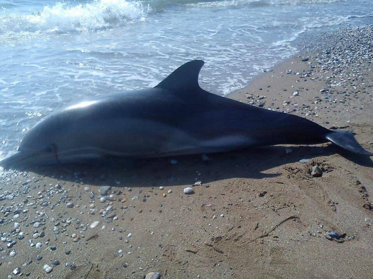 Νεκρό δελφίνι ξεβράστηκε στις ακτές της Αλεξανδρούπολης