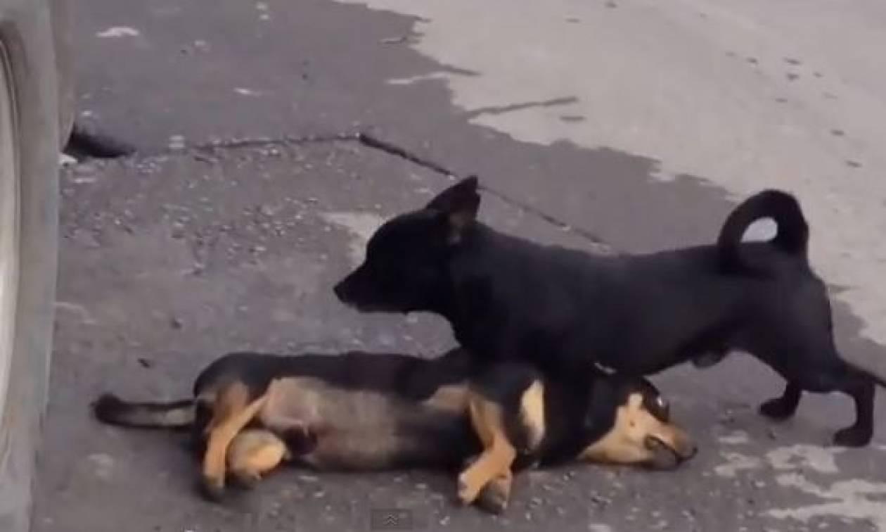 Συγκλονιστικό video: Σκύλος προσπαθεί να ξυπνήσει τον νεκρό φίλο του!