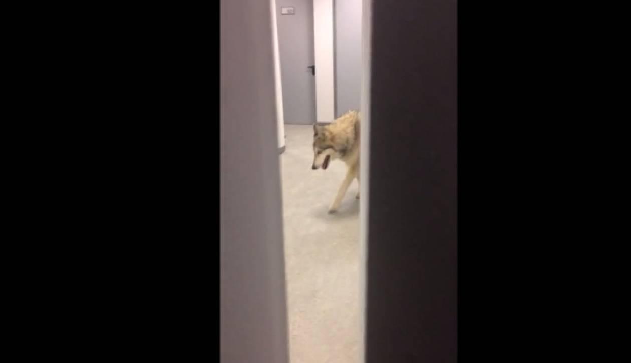 Εισβολή λύκου σε ξενοδοχείο στο Σότσι! (video)
