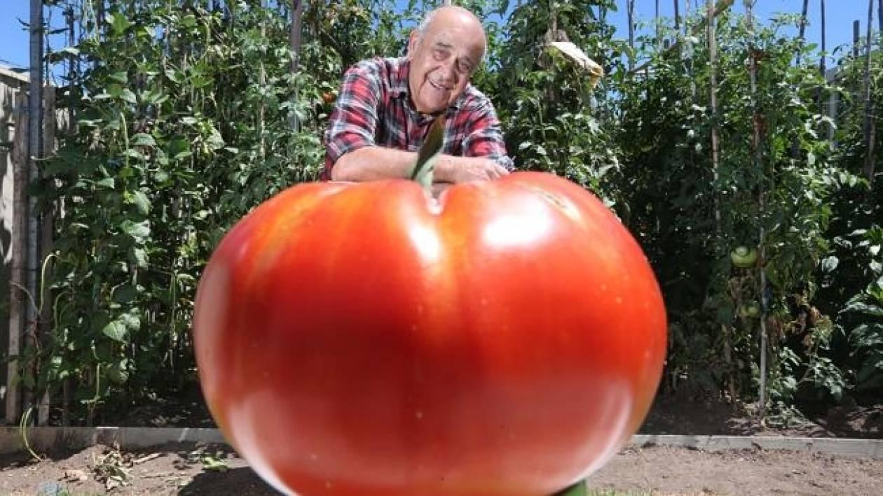 Ελληνοαυστραλός «έβγαλε» από τον κήπο του μία τομάτα ενός κιλού!