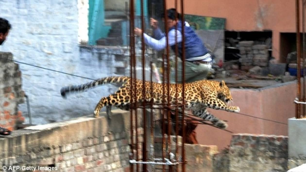 Λεοπάρδαλη μπούκαρε σε νοσοκομείο και κινηματογράφο (pics)