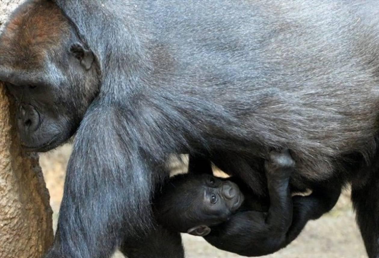 Νεογέννητο γοριλάκι κρέμεται από την κοιλιά της γιαγιάς του (pic)