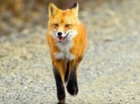 Αποτέλεσμα εικόνας για εναέριες ρίψεις εμβολίων -δολωμάτων κατά της λύσσας των αλεπούδων