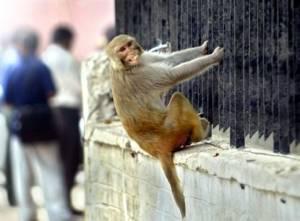 Η πιο άχαρη δουλειά του κόσμου! Κάνουν τα σκιάχτρα για τις... μαϊμούδες