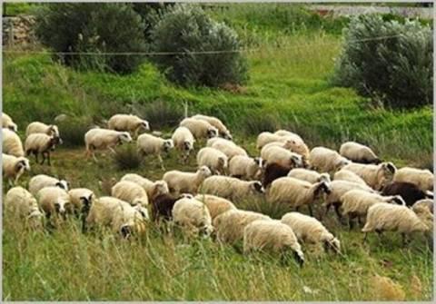 Αποτέλεσμα εικόνας για κατσίκια πρόβατα στάνη