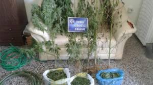 Βοιωτία: Εκχέρσωσε μέρος δάσους για να φυτέψει χασισόδεντρα