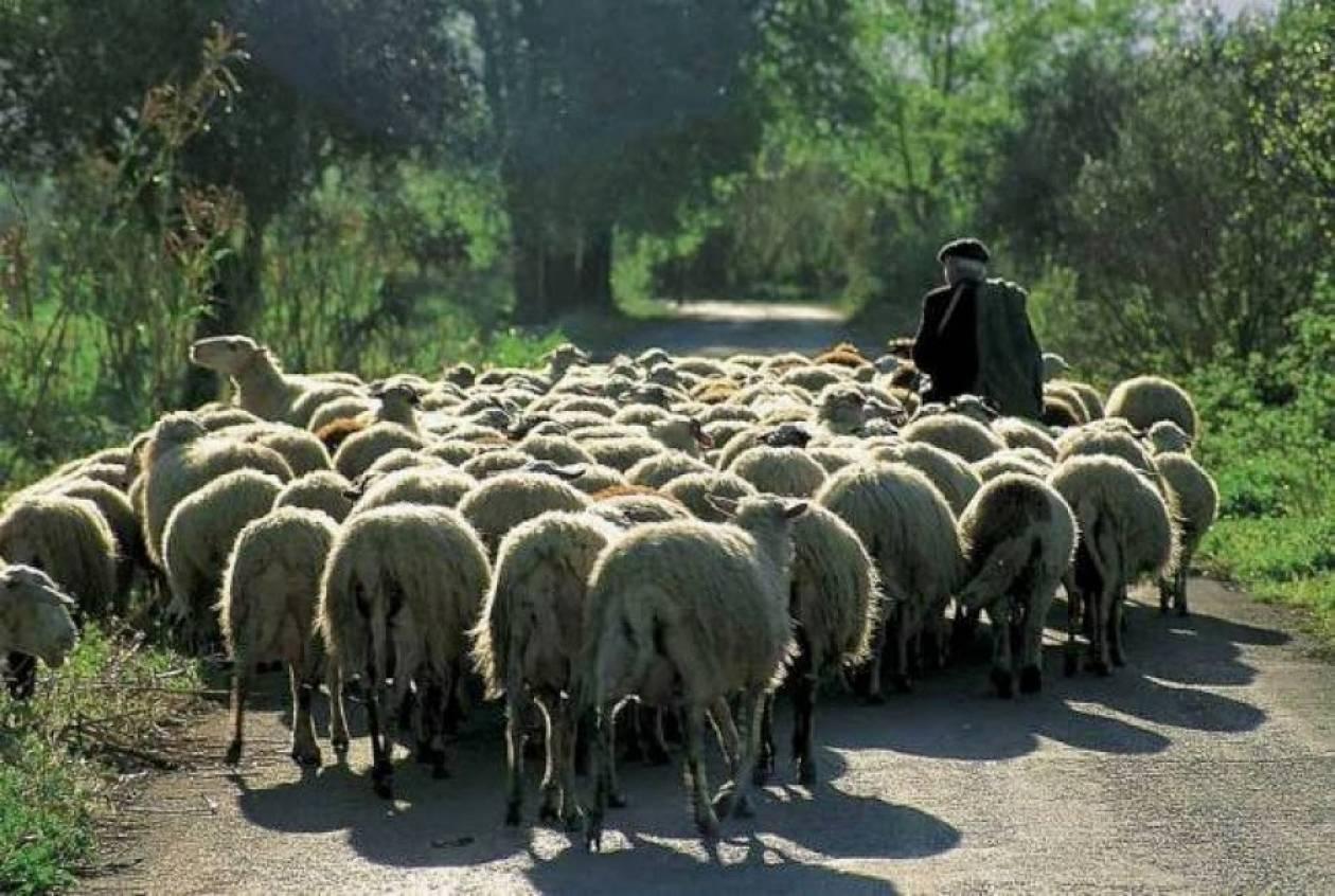 Πολύγυρος: Σε δημοπρασία ένα κοπάδι αιγοπρόβατα