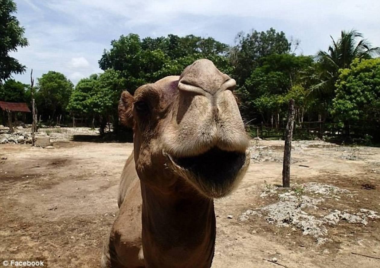 Καμήλα σκότωσε ιδιοκτήτη πάρκου (pics)