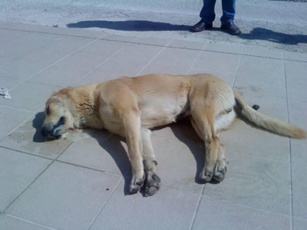 Λέσβος: Σκοτώνουν σκυλιά με φόλες – Εξοργισμένοι οι κάτοικοι