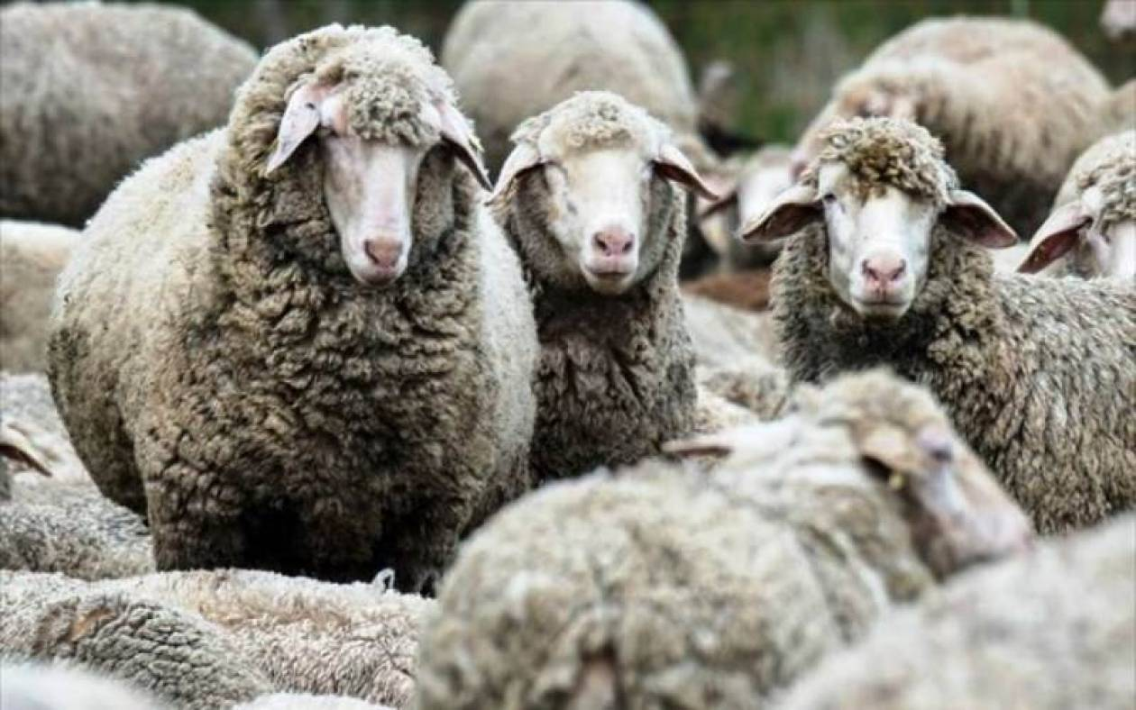 Έβρος: 3,7 εκατ. ευρώ θα δοθούν ως αποζημίωση στους κτηνοτρόφους