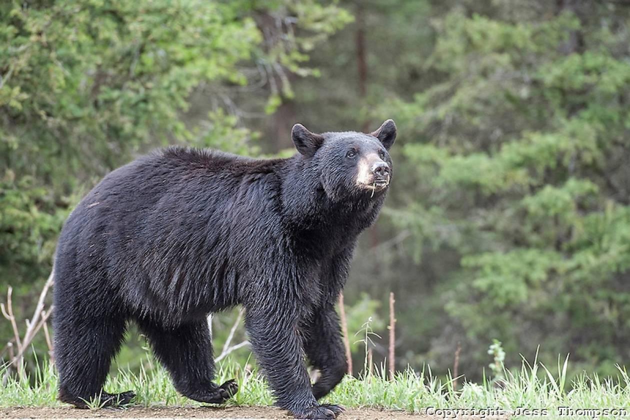Αρκούδα κατασπάραξε το άψυχο σώμα 65χρονου