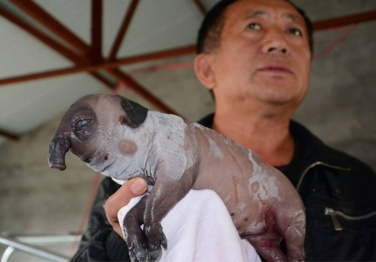 Γεννήθηκε χοιρίδιο με μύτη... ελέφαντα (pics)