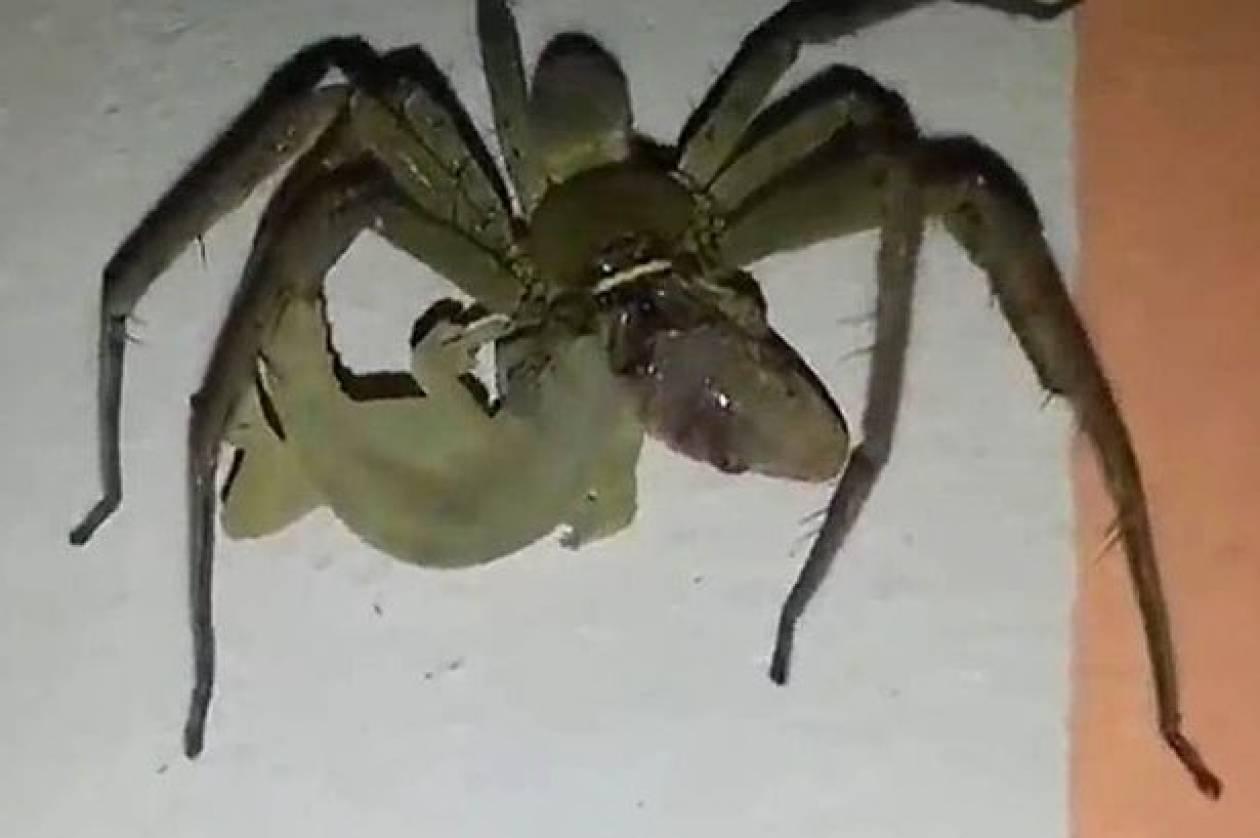 Γιγαντιαία αράχνη προσπαθεί να φάει ολόκληρη σαύρα (βίντεο)