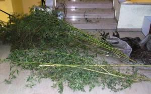 Τέσσερις συλλήψεις για καλλιέργεια ναρκωτικών στο Μωσαϊκό