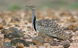 Βασιλιάδες επιτρέπεται να κυνηγούν πτηνά υπό εξαφάνιση