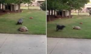 Η γρηγορότερη χελώνα της Ιστορίας κυνηγά… σκύλο! (video)